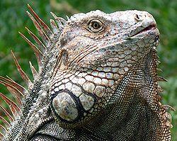 250px-Iguana_Costa_Rica.jpg