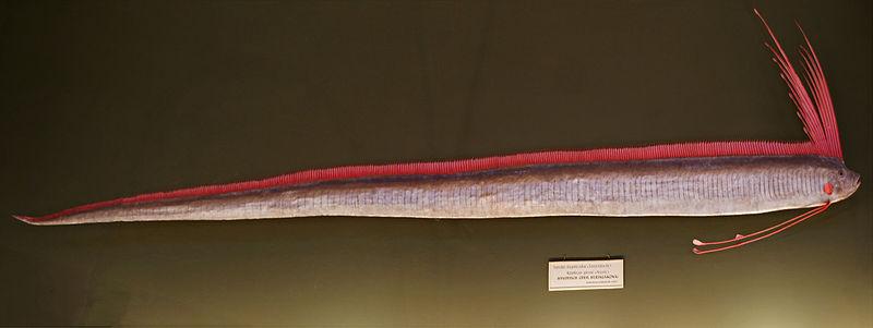 800px-Regalecus_glesne%2C_Naturhistorisches_Museum_Wien.jpg