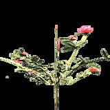 plantedChrysanthemum3HarvestA18.png