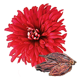 A18plantedChrysanthemum1.png