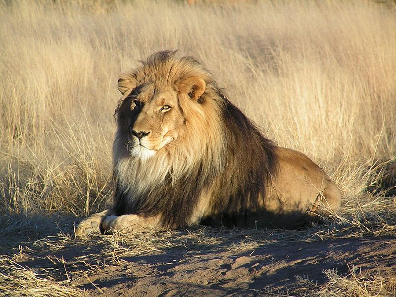 800px-Lion_waiting_in_Namibia.jpg