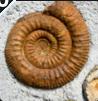 Ammonididea.PNG