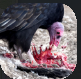 Carrion.PNG