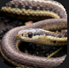 Colubridae.PNG