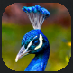 Plumage.PNG