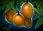 Mango Tree.png