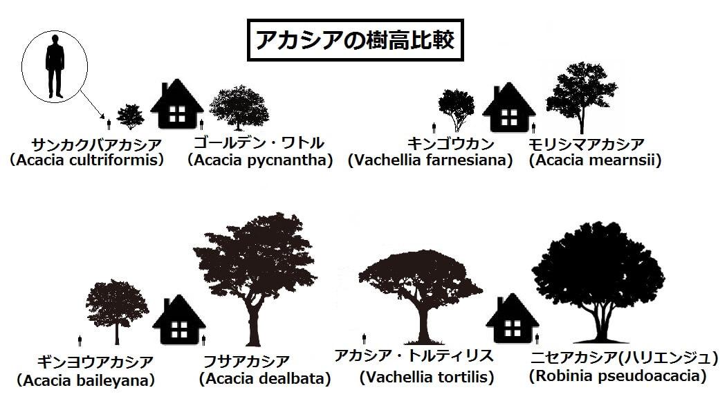 アカシアの樹高比較