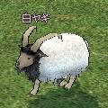 white_goat.jpg