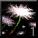 汚染された池の花.jpg